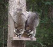 raccoons-handstands1.jpg