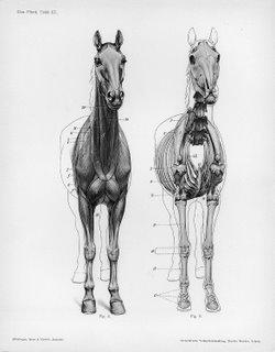 anatomy-horse_hanuman.jpg