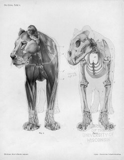 anatomy-lioness_hanuman.jpg