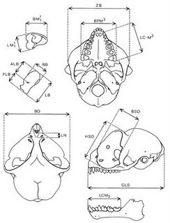 tarsier-skull_hanuman-081121