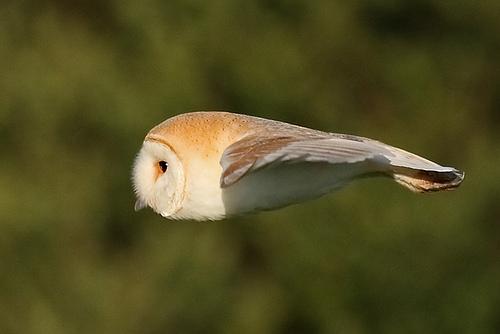 Flying Applebird_Hypnogoria 090805