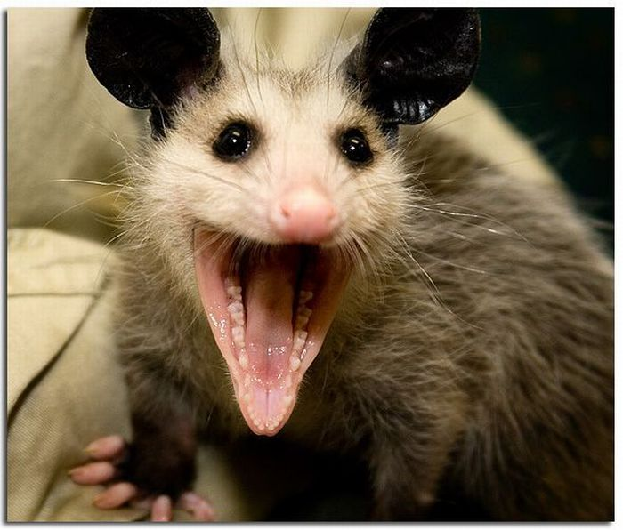 LOL Possums | Tacky Raccoons Raccoon With Rabies