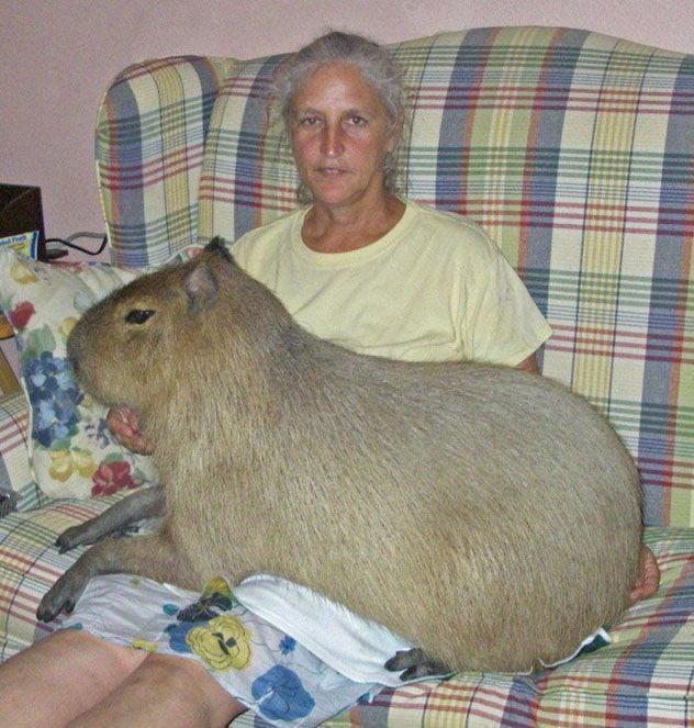 Capybara sits on a lady's knee;