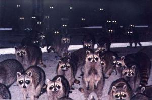 Raccoon Horde