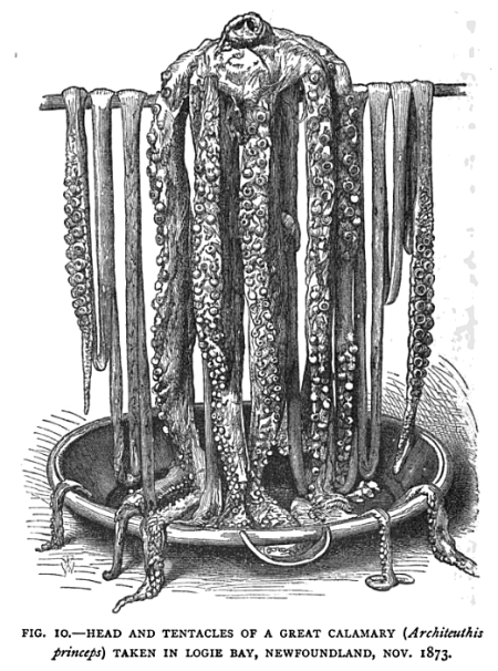 Great Calamary 1873