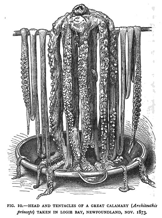 Great Calamary 1873