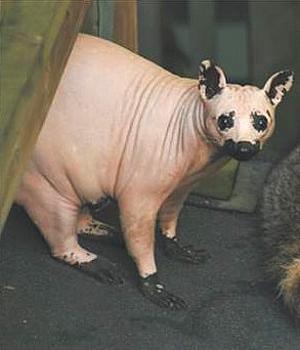 Raccoon Alopecia