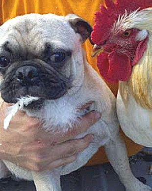 chicken pug