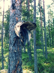 Northern Arboreal Dogfish 2