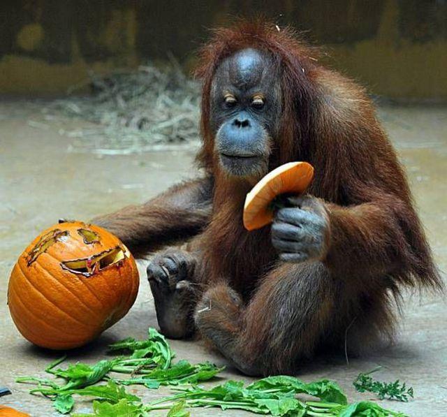 Oran Gutan Pumpkin