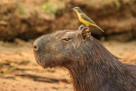 CapyBird