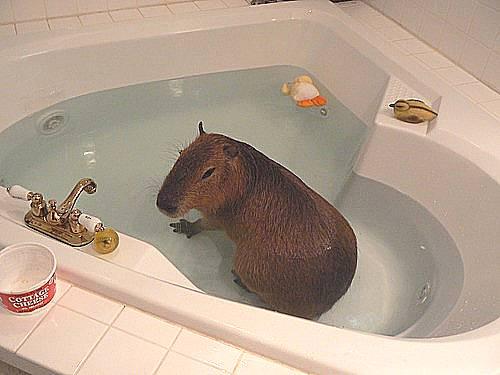 Capy Bath