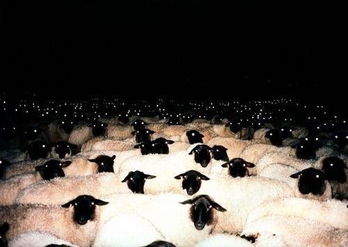 Evil sheep - photo#27