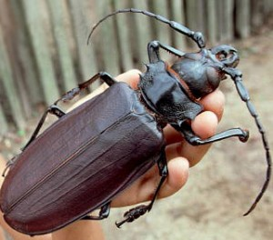 Giant-Fijian-Long-Horned-Beetle-300x264
