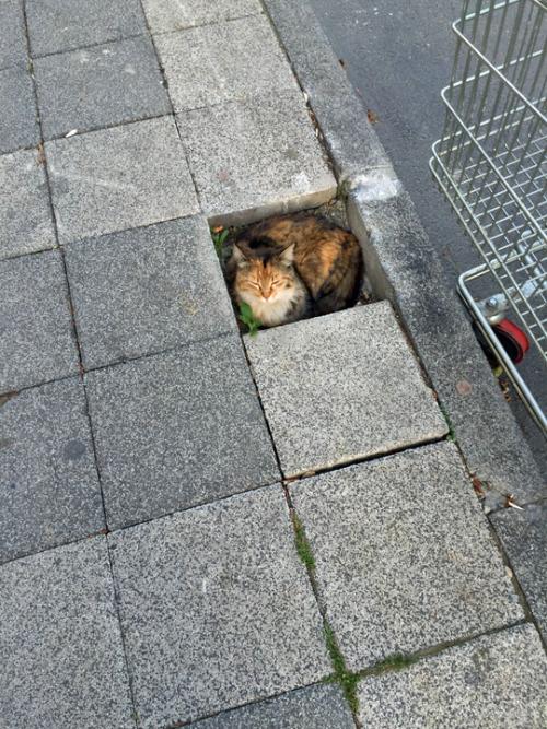 Cat Pavers