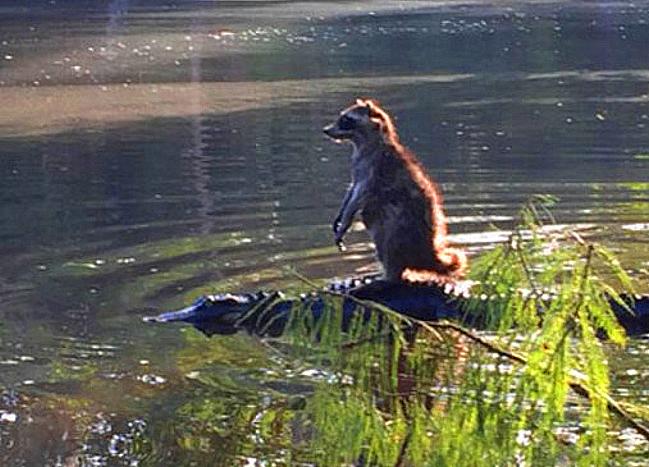 Raccoon & Gator