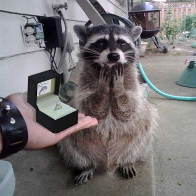 Raccoon Proposal