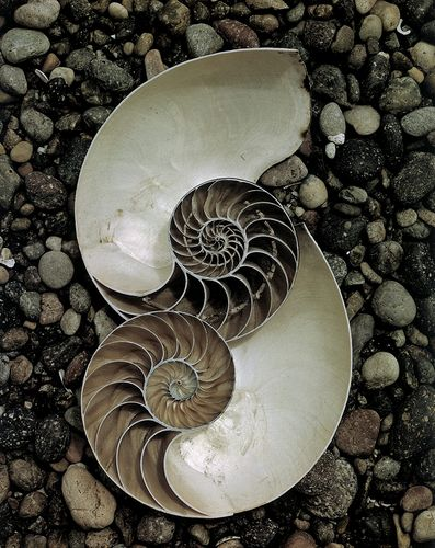 Nautilus Shells 1947 Edward Weston
