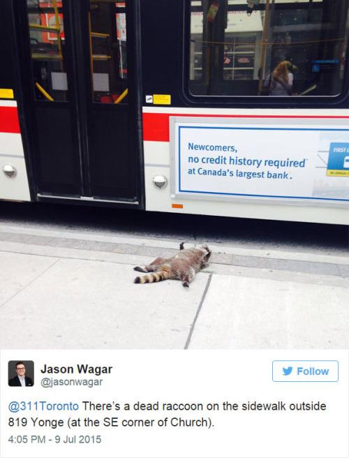 dead raccoon 1