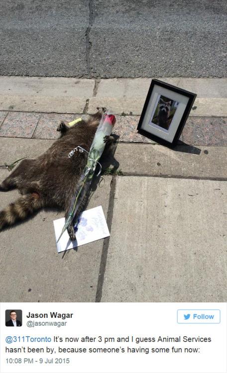 dead raccoon 2