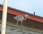 160825 Egrets [1]
