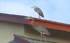 160825 Egrets (3)