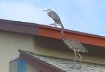 160825 Egrets (4)
