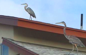 160825 Egrets (5)