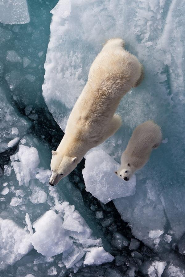 polar-ice-bear-cicles