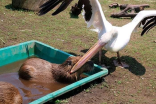 Pelicans Trying to Eat Animals 3