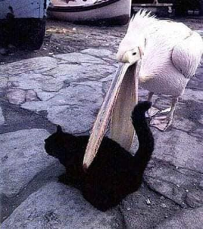 Pelicans Trying to Eat Animals 6