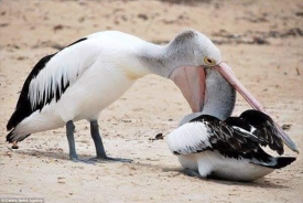Pelicans Trying to Eat Animals 7